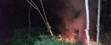 Maconha erradicada na zona rural de Dormentes, PE
