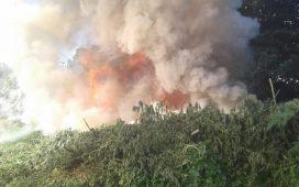 Polícia Federal destrói 57 mil pés de maconha no Sertão de Pernambuco