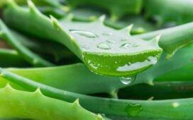 Remédio caseiro: Combater caspa, fazer hidratante e esfoliante com babosa