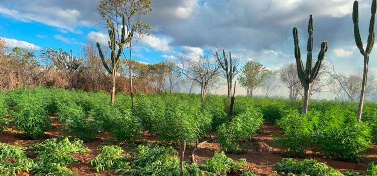 Polícia destrói plantação com 28 mil pés de maconha em Santa Filomena, PE