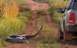 5 Cobras gigantes capturadas no Brasil