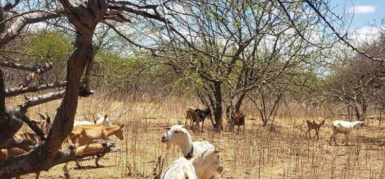 Embrapa Semiárido alerta para neurodoença em caprinos e ovinos da caatinga